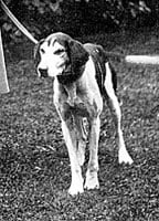 Dog called Fullerton at Grasmere Sports 1909